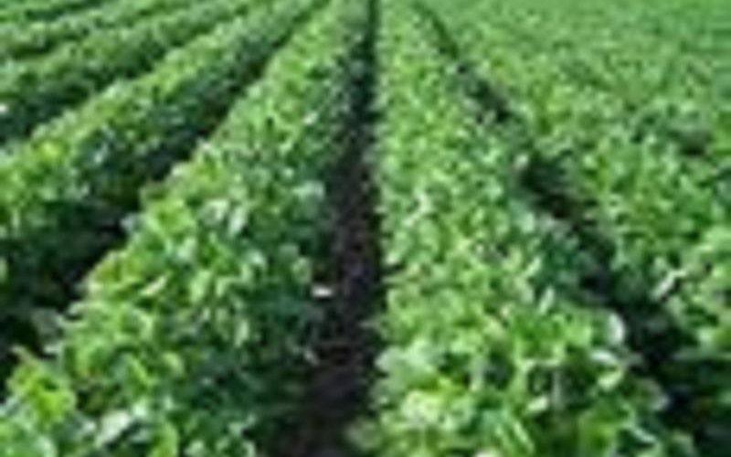 إكتمال زراعة 500 ألف فدان قمح بمشروع الجزيرة