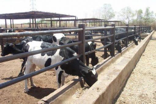 غرفة الألبان: مشاكل تواجه القطاع تنذر بتراجع الأبقار المنتجة