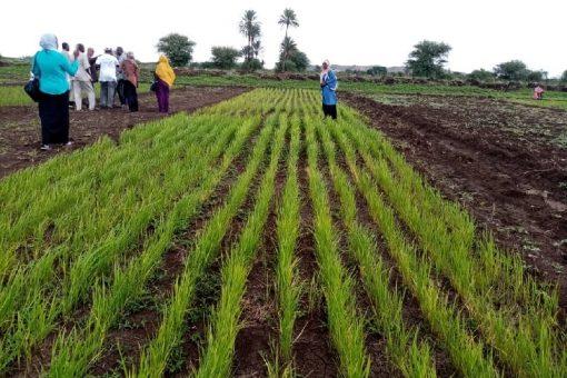 الجزيرة تستضيف 6 ولايات لتقييم زراعة الأرز بالسودان