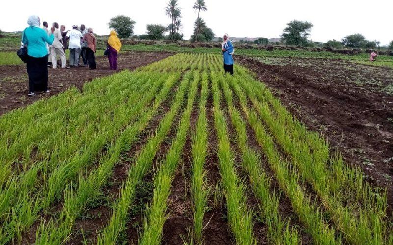انطلاقة الورشة التقييمية لزراعة الأرز الهوائي بالجزيرة غداً