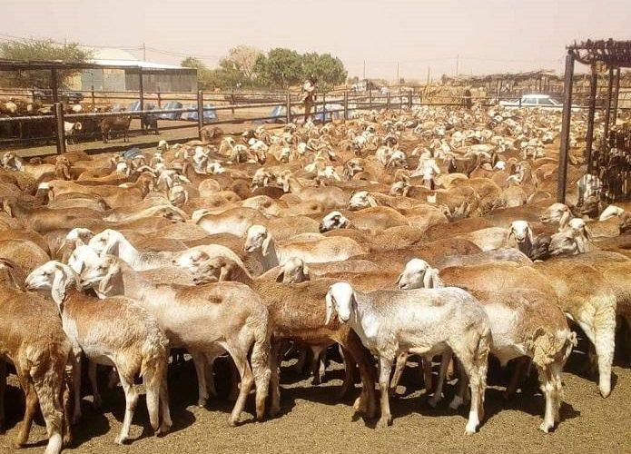 خلو ولاية سنار من أمراض الحيوان الوبائية