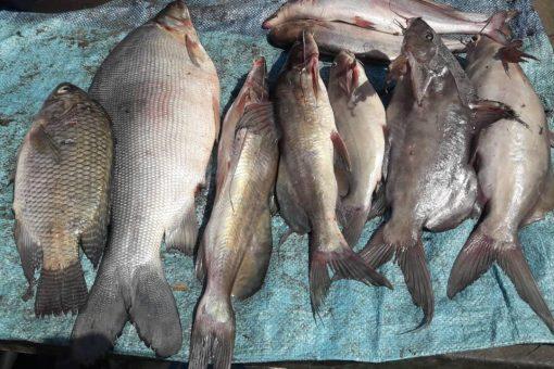 النيل الأبيض تنتج 70% من أسماك السودان