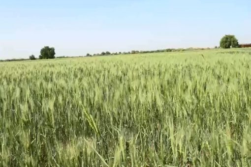 زراعة اكثر من 113 ألف فدان قمح بالنيل الابيض .