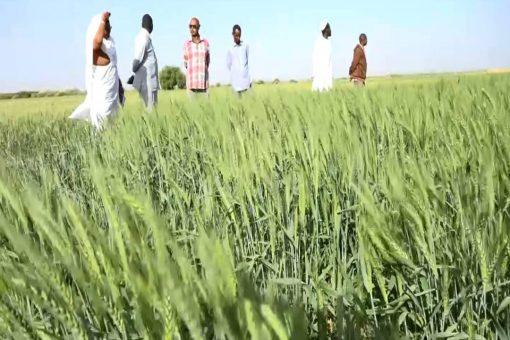 تكوين لجنة عليا للحصاد بالنيل الأبيض