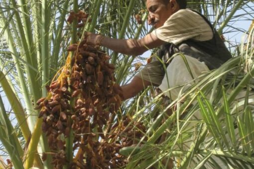 الشروع فى تكوين جمعيات لمنتجي التمور بولايةنهر النيل