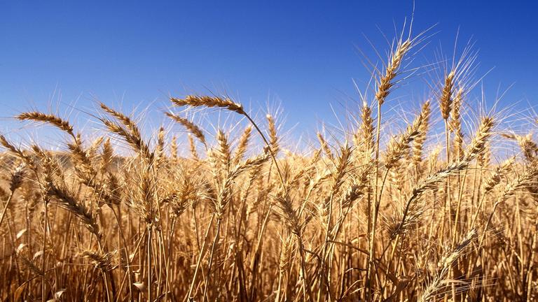 غدا الاحتفال بتدشبن حصاد القمح بحلفا الجديدة.