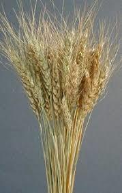 حظر التداول بالبيع والشراء والتنقل للقمح خارج البنك الزراعي بالجزيرة