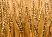 اكتمال ترتيبات حصاد القمح بهيئة حلفا الجديدة الزراعية