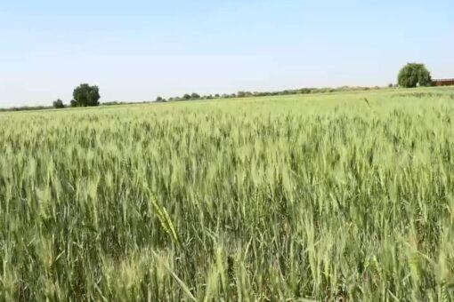 محصول القمح بمشروع سندس الزراعى يبشر بانتاجية عالية