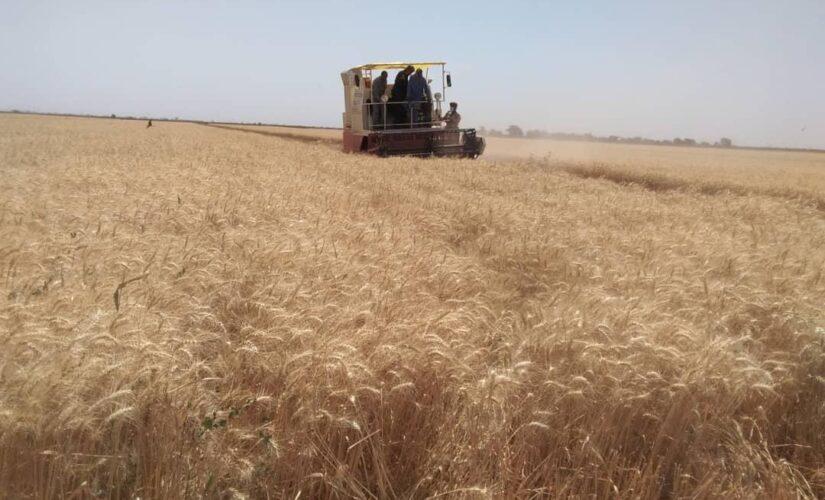 مزارعو الجزيرة يطالبون بزيادة السعر التركيزي وتوفير مطلوبات الحصاد