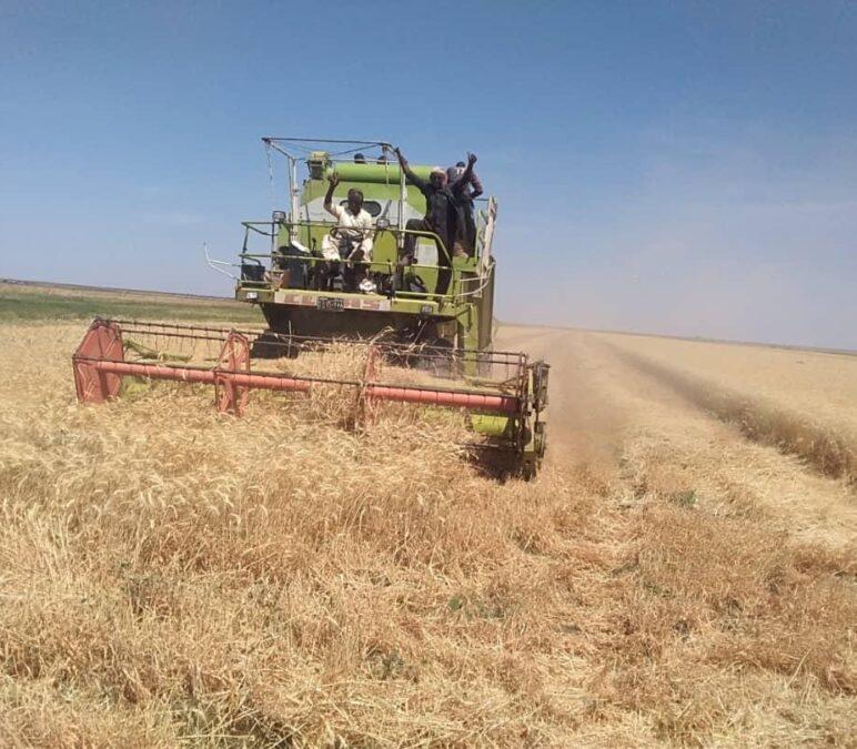 انطلاق حصاد القمح بهيئة الرهد الزراعية بمتوسط إنتاج 18جوال للفدان