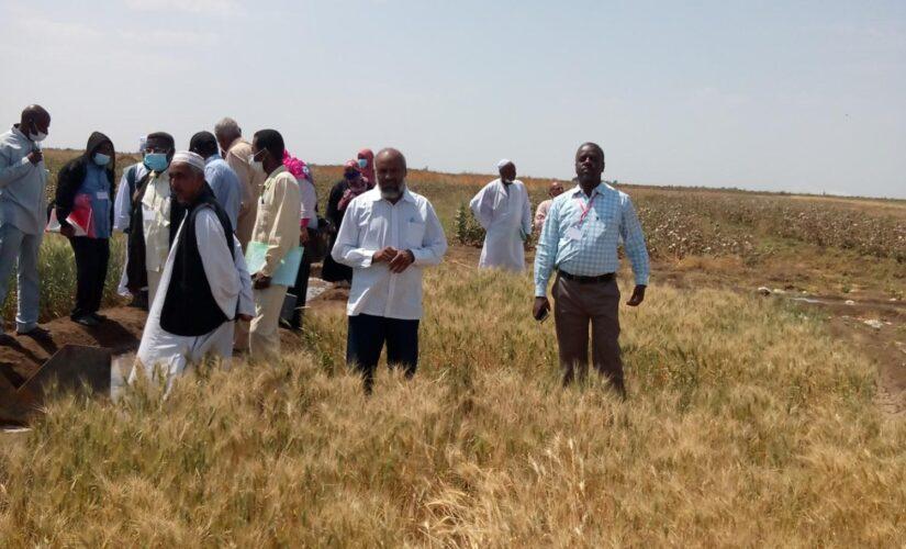 إنطلاق حصاد القمح بمشروع حلفا الجديدة الزراعي