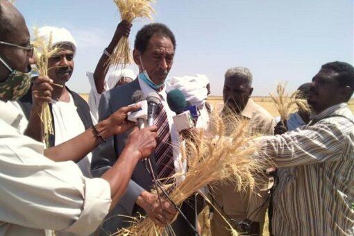 بدء حصاد900 الف فدان من القمح بمتوسط 17 جوال للفدان