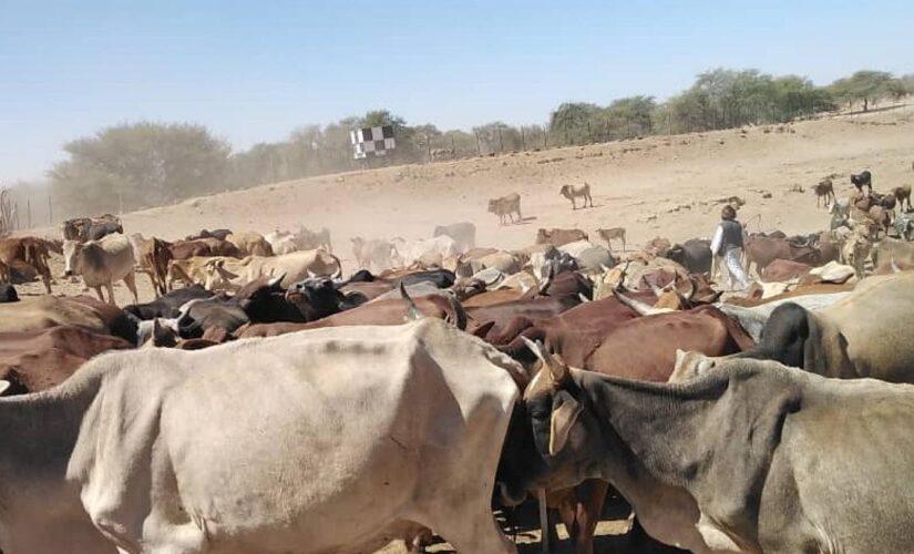 محلية مليط بشمال دارفور تدشن نفرة جباية زكاة الأنعام