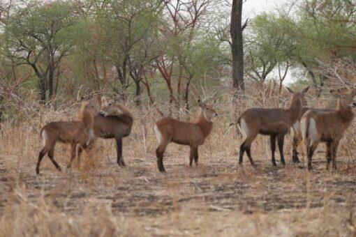حماية الحياة البرية بسنار تعد للاحتفال باليوم العالمي للحياة البرية