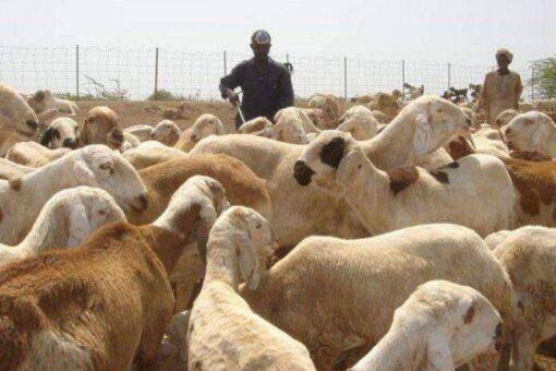 بحث تذليل معوقات صادر الثروة الحيوانية بكسلا