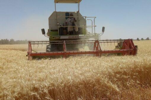 الشمالية: حصاد القمح في المشاريع الاستثمارية والحكومية يسير بصورة جيدة