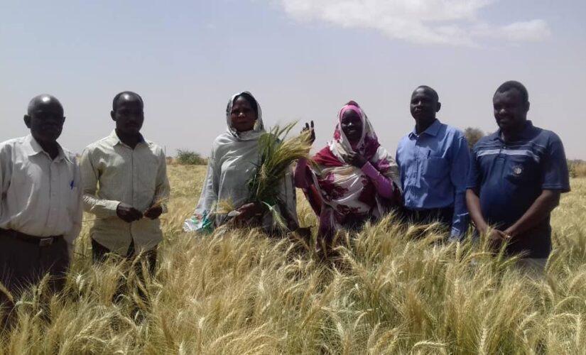 توطين زراعة القمح بشمال دارفور نجاحات مرتقبة