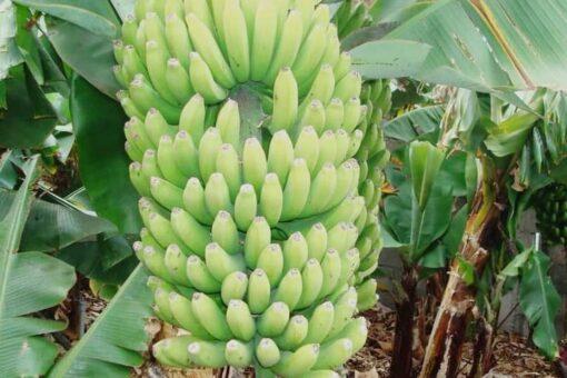 جامعة الجزيرة:اختتام دورة تدريبية حول إنتاج الموز للصادر