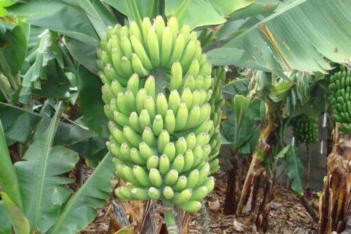 ورشه عمل لمعاملات ما بعد حصاد وإنتاج الموز للصادر بالجزيرة