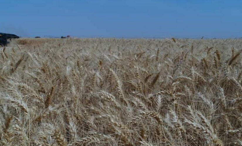 البنك الزراعي يتسلم ٣.٣٦٣.٣٤٦ جوال قمح من المزارعين بالسعر التركيزي