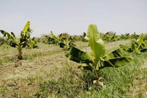 جامعة الجزيرة تتجه للاستثمار في زراعة الموز والخضروات