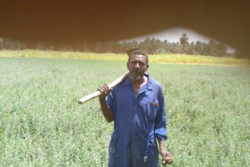 القمح الصيفي. .. فتح جديد في شمال السودان