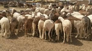 الثروة الحيوانية:صادر الضأن للسعودية تجاوز المليون رأس هذا العام