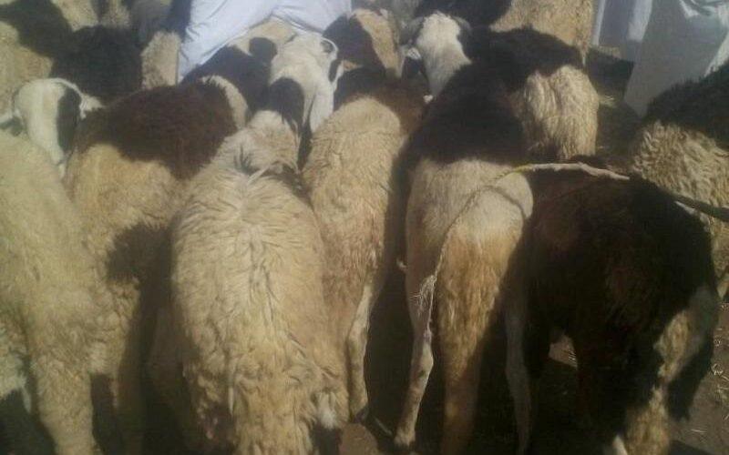 منظمة بت مكلي تدشن توزيع الاضاحي للأسر المتعففة والمشردين