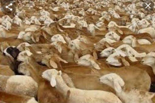 الثروةالحيوانية تنفي رجوع بواخر من صادر الماشية الأيام السابقة.