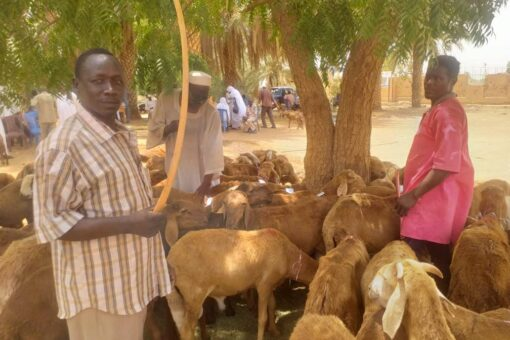 تدشين توزيع خراف الأضاحي للعاملين بجامعة وادي النيل