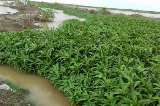 تأثر قرى ومساحات زراعية بقسم المنسي بمشروع الجزيرة