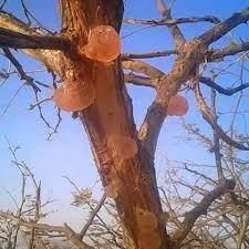 قطع الأشجار يعيق إعادة إعمار حزام الصمغ العربي بشمال كردفان