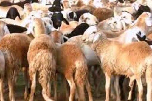تطعيم 700الف رأس من الماشية بشمال كردفان