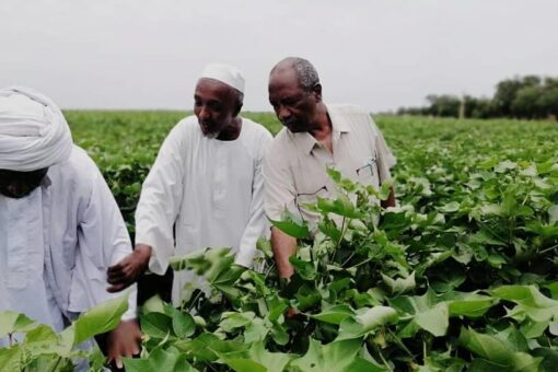 مشروع الجزيرة يكمل زراعة 700 ألف فدان بمحاصيل العروة الصيفية