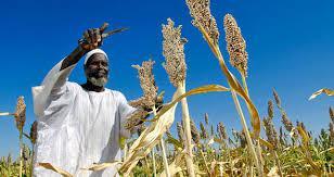 مدير عام هيئة السوكي الزراعية: الموسم الزراعي يسير بصورة طيبة