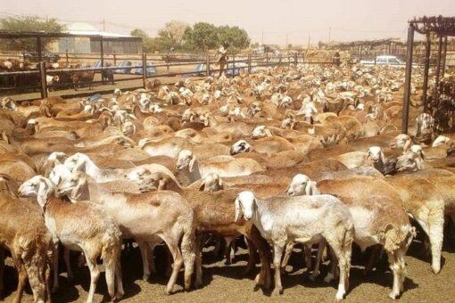 خطة لخروج تسويق الثروة الحيوانية بعد انتهاء عمله بالنيل الابيض