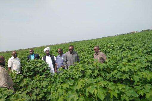 تمويل زراعة 25ألف فدان من القطن عبر وزارة المالية بالجزيرة