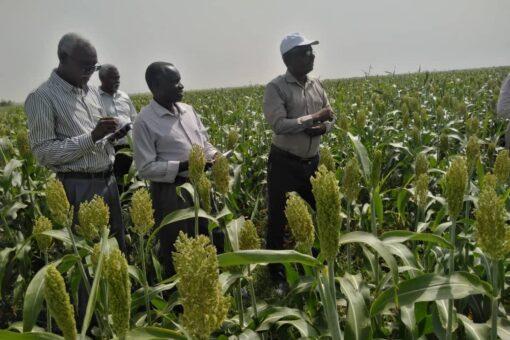 جامعة الجزيرة:التوسع في زراعة أصناف ذرة عالية الجودة والإنتاجية